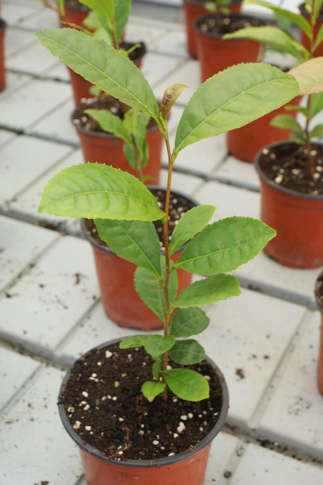 http://www.cantinhodasaromaticas.pt/loja/plantas-em-vaso-bio/cha-camellia-sinensis/