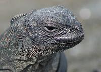 Galapagos Island Iguana