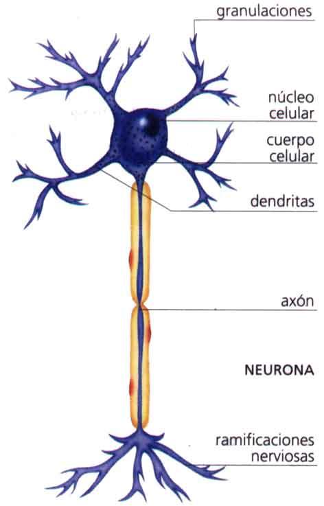 Clulas nerviosas  Apuntes para estudiantes