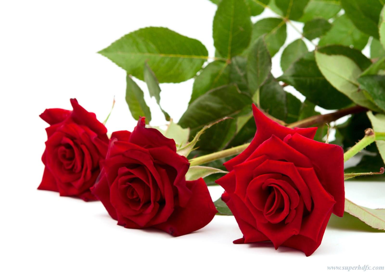 Red Rose HD Desktop Wallpaper