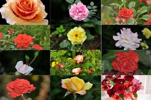 Rosas de colores para el 10 de mayo X (12 fotos)