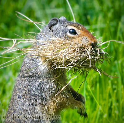 Columbian ground squirrel (c) John Ashley