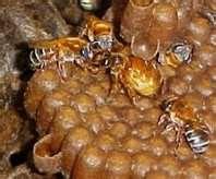 abelhas mandaçaia do chão[uruçu do chão ?] sua rainha em destaque