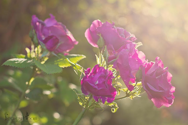 rhapsody blue rose in the very early sunlight