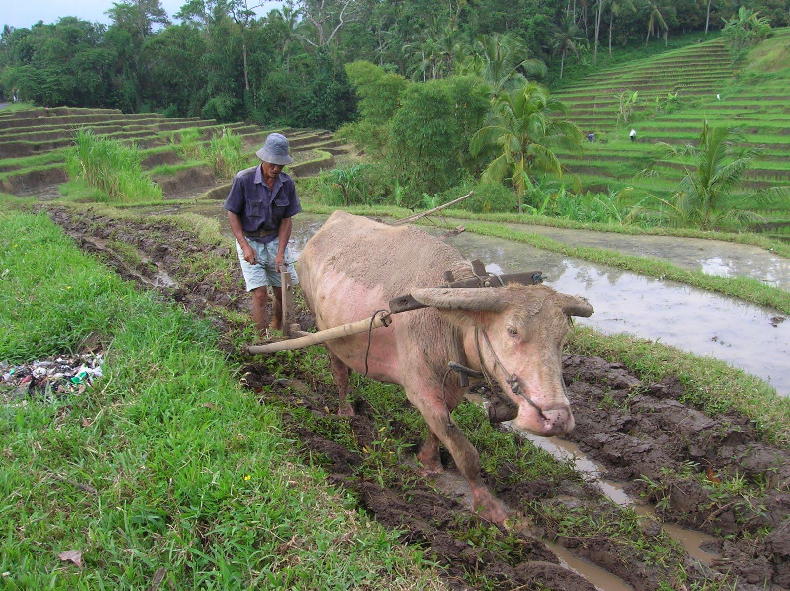 labrando en Bali, arrozales de Jatiluwih, Bali, vuelta al mundo, round the world, La vuelta al mundo de Asun y Ricardo