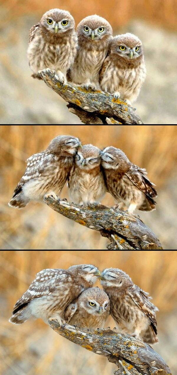 Funny animals of the week - 21 March 2014 (40 pics), funny animal pictures, owls kissing