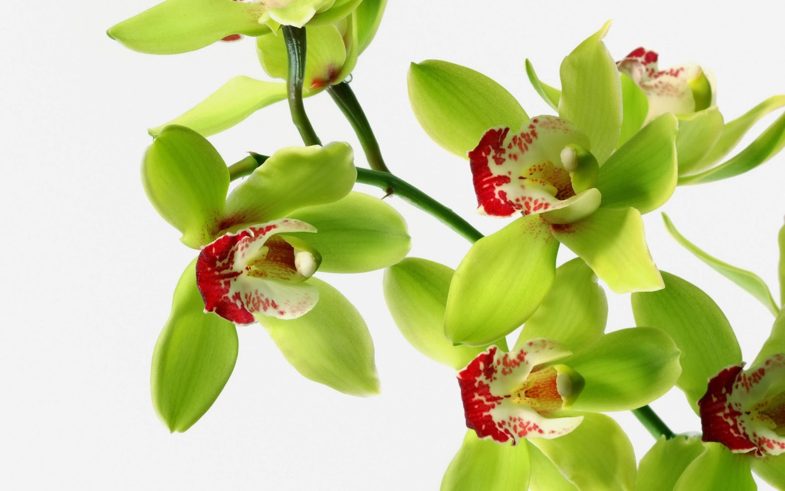 Attractive green orchid flowers wallpaper beautiful desktop attractive green orchid flowers wallpaper izmirmasajfo