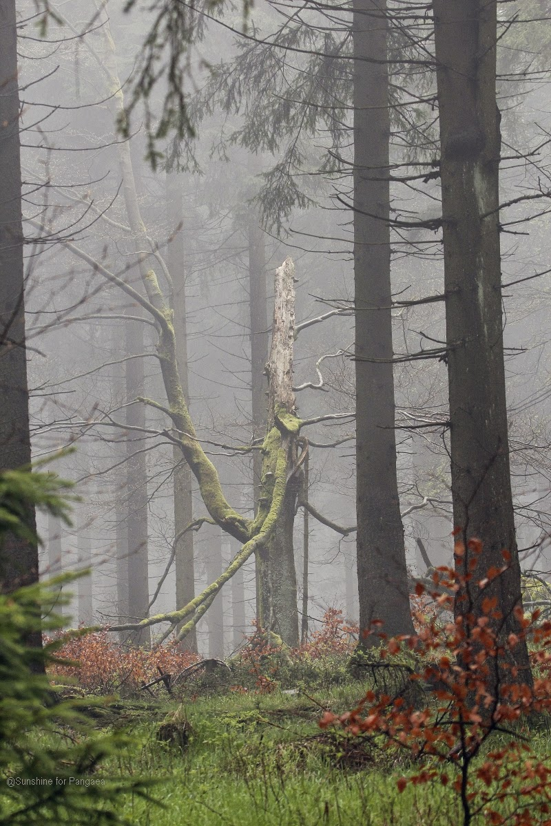 Old tree in the fog