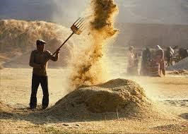 تذرية القمح