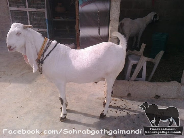 Bakra For Sale 2013 sohrab goth gai mandi