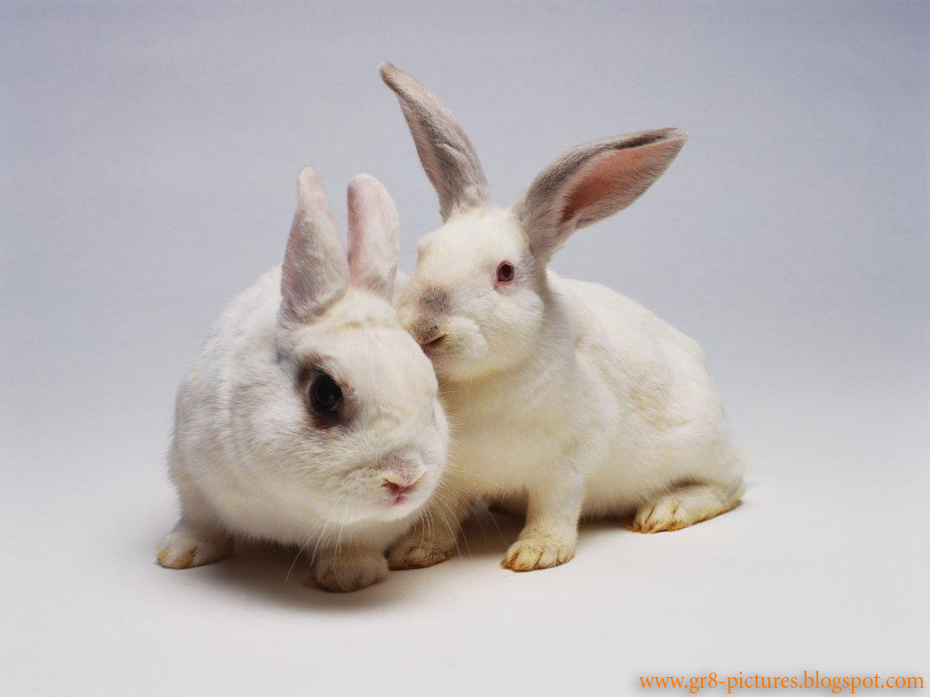 Images of Cute White Rabbits Couple of Cute White Rabbits