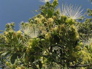 Lammerdrol in bloei