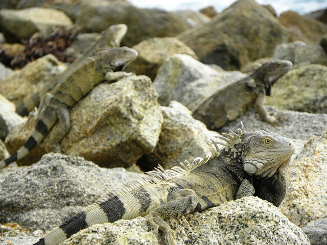 Lizards Oranjestad Aruba