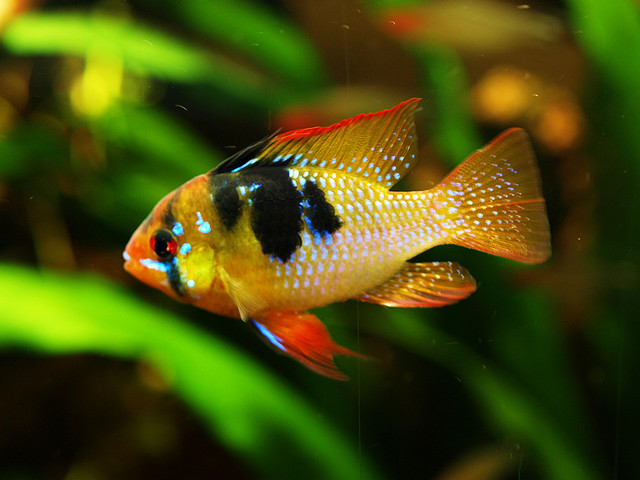 Tropical fish pictures exotic ornamental fish photos for Good community fish