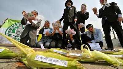 Primera victoria: México suspende la siembra de maíz transgénico