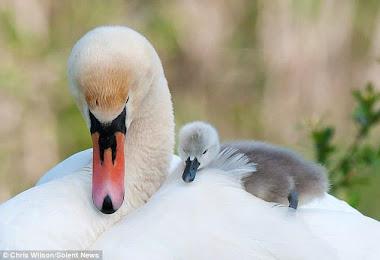 Kuğu ve yavrusu