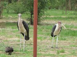 Marabou Storks, Bor, Jonglei State
