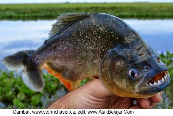 Mengenal Piranha alias Ikan Harimau