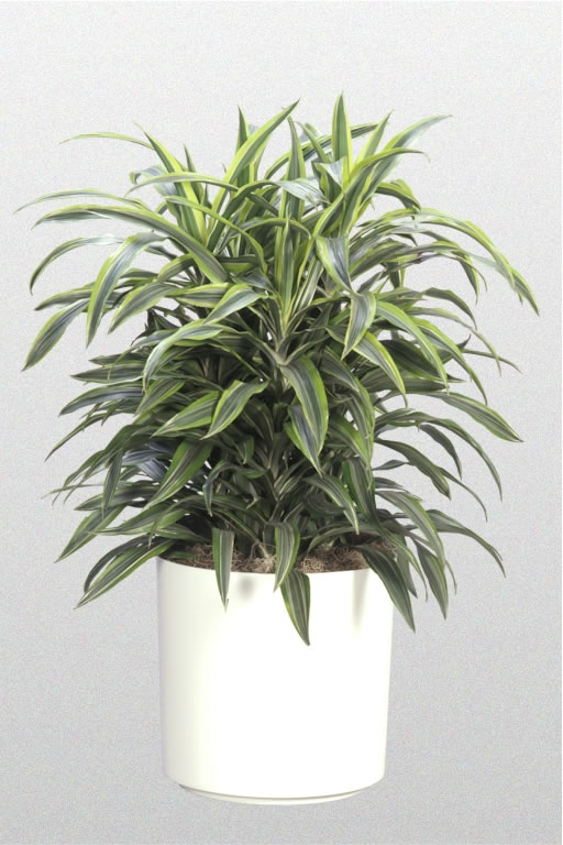 Dracena dracaena houseplants for Plante dracaena