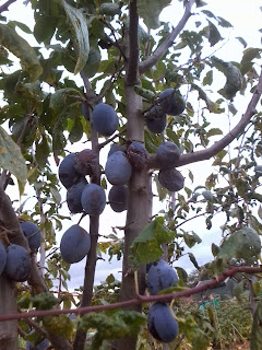 victoria plum or damson tree