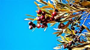 gambar buah dan pohon zaitun