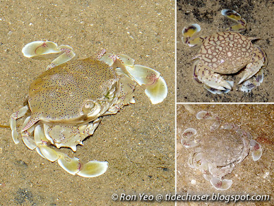Moon Crabs (Family Matutidae)