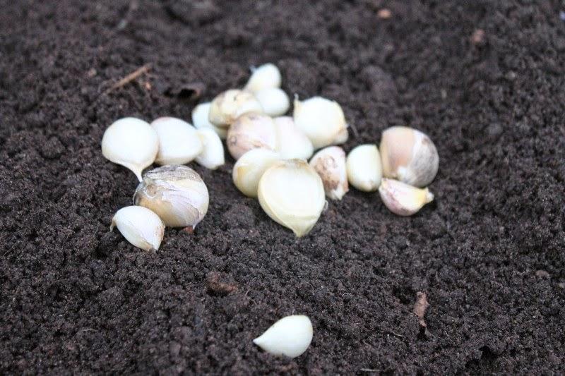 Semina aglio 23 novembre 2014