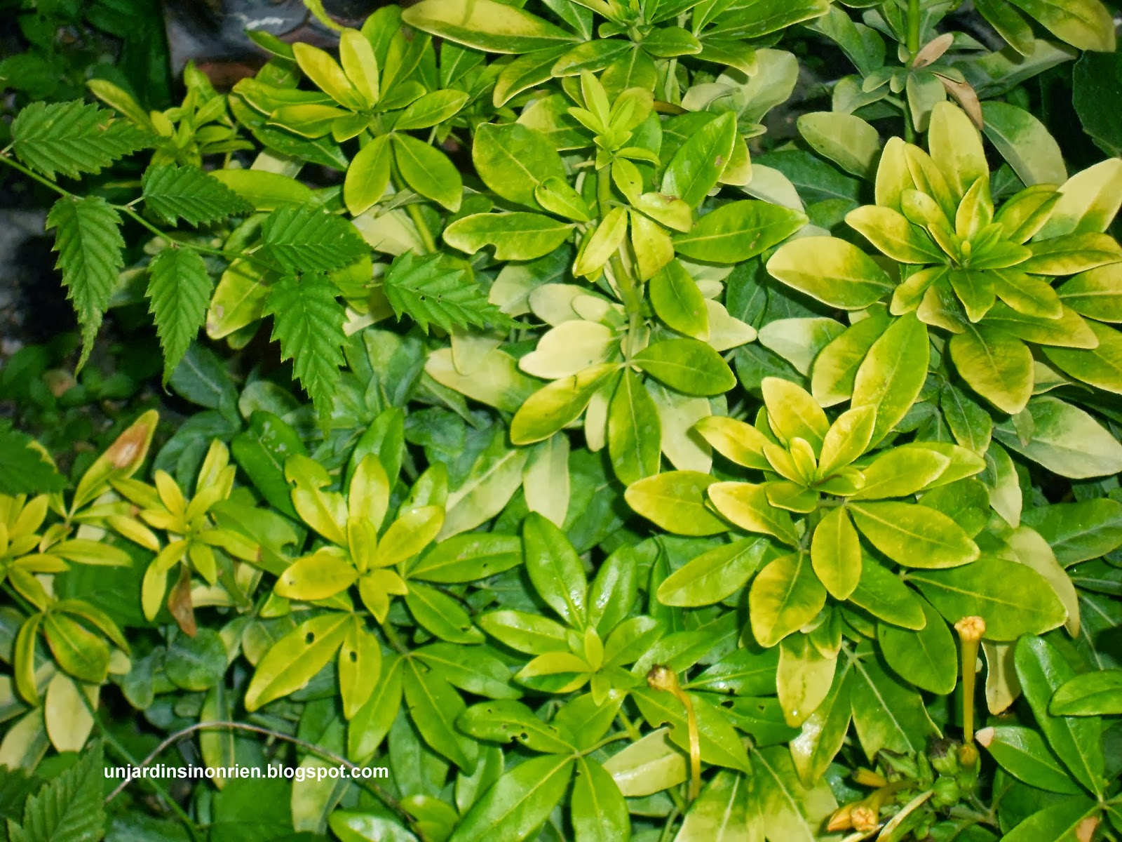 L oranger du mexique aztec pearl au jardin - Oranger du mexique feuilles jaunes ...