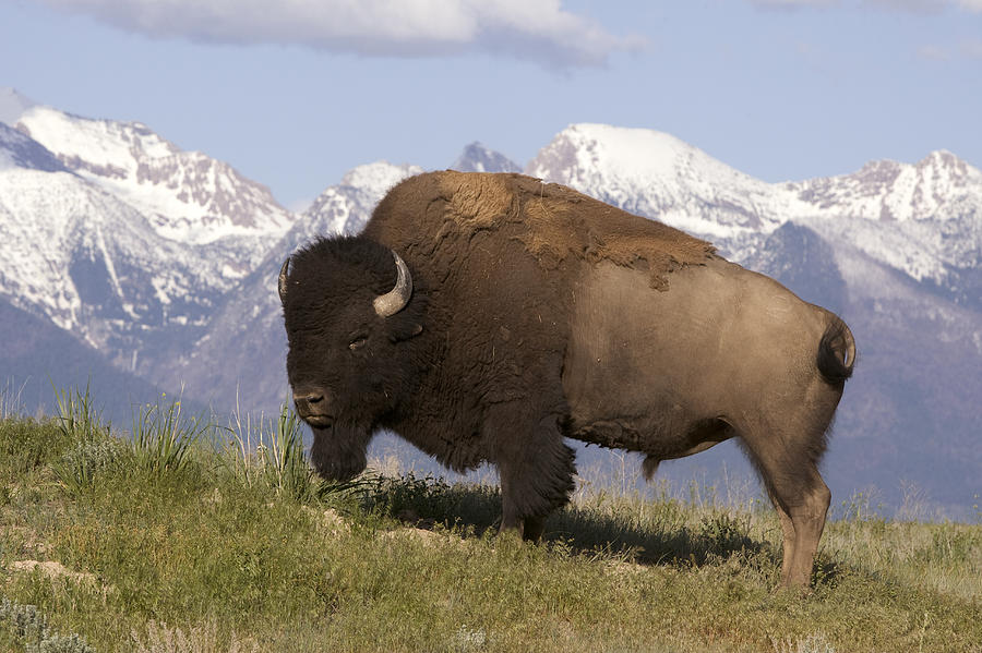 World All Animals: American bison