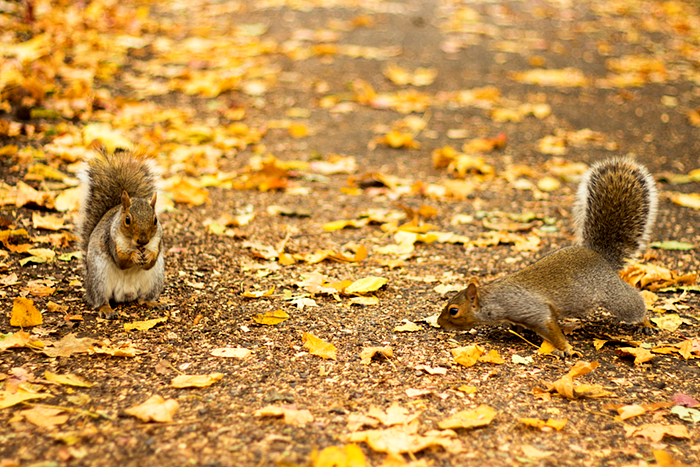 Squirrel. Fall in Central Park, NYC, New York