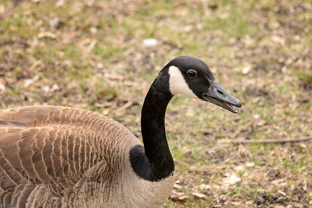 A Goose at Fabyan Forest Preserve
