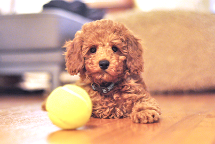 noodle the poodle first encounter with a tennis ball. confused?