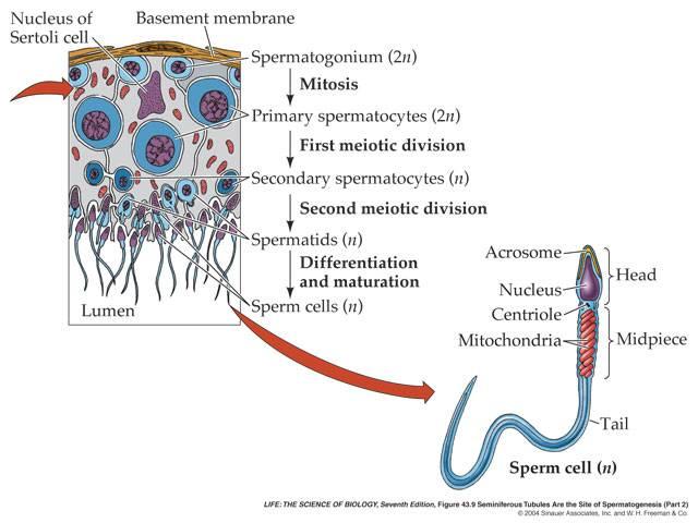hronicheskiy-prostatit-spermatogenez