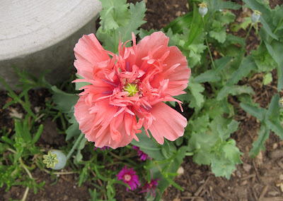 Annieinaustin,frilly peach-pink poppy