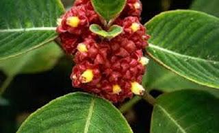 Jardineria, Catalogo de Plantas: Alloplectus capitatus