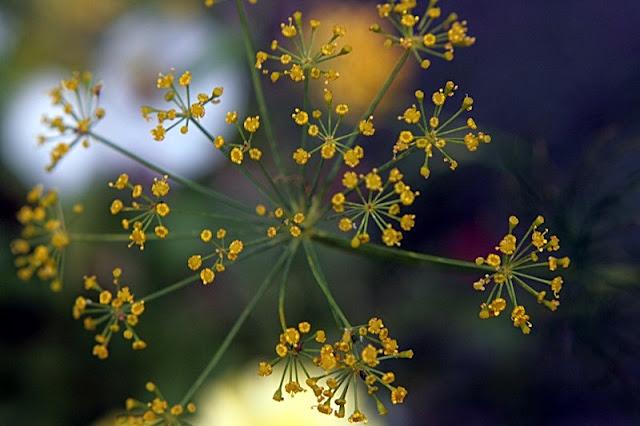 Wild Herb Photo
