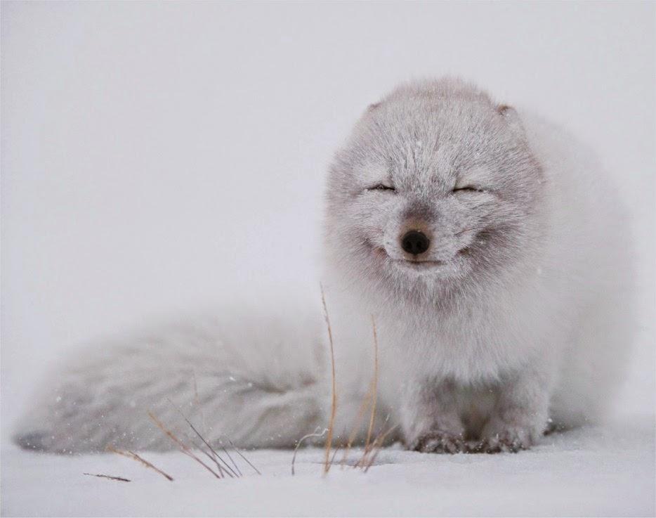 50 Powerful Photos Capture Extraordinary Moments In The Wild - An Arctic Fox Enjoys The Snowfall.