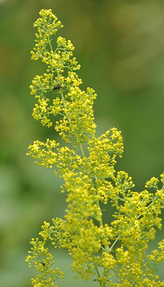 Lady S Bedstraw A Native Wild Flower That Weaves Its Way Between Other Plants In The Border And Fills Gaps With Mist Of Tiny Yellow Flowers