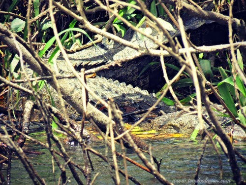 Archie - a female crocodile hidden by the trees