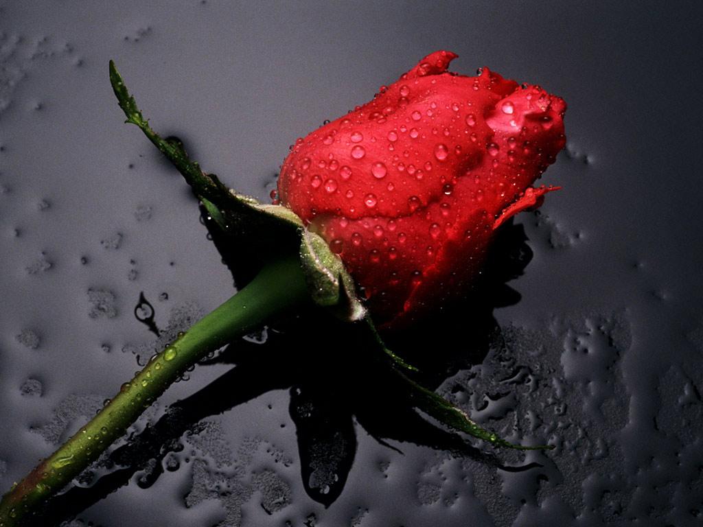 http://3.bp.blogspot.com/-tsa79QnNxKM/Th8-MLNZPCI/AAAAAAAAAVY/fLDCmo3piU4/s1600/red-rose-desktop-wallpapers.jpg