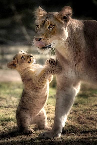 милый маленький львёнок и мама