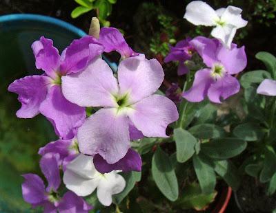 flor aleli