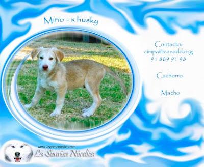 Adopción Cachorro Husky Siberiano Miño
