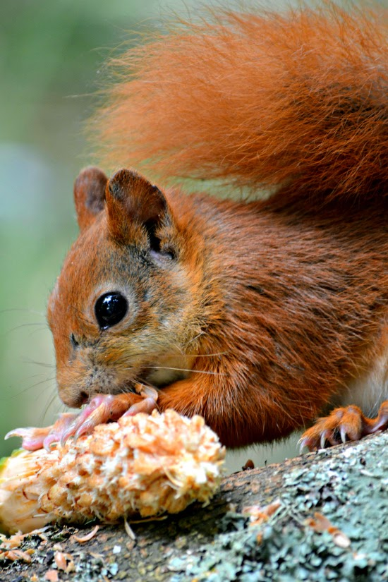 Red squirrel Tresco Abbey Gardens on Isles of Scilly