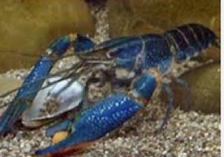 Cara Budidaya Lobster Air Tawar Hasil Bombastis Untuk Pemula