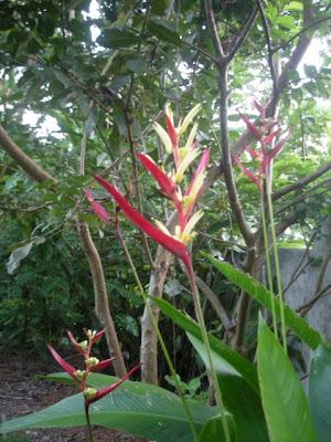 heliconia, La Ceiba, Honduras