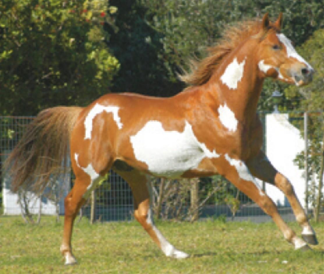 http://3.bp.blogspot.com/-ttlapVSQ7Ng/UC89Me_IfsI/AAAAAAAAFAU/odJYj8i0pC8/s1600/White-Brown+American+Paint+Horse.jpg