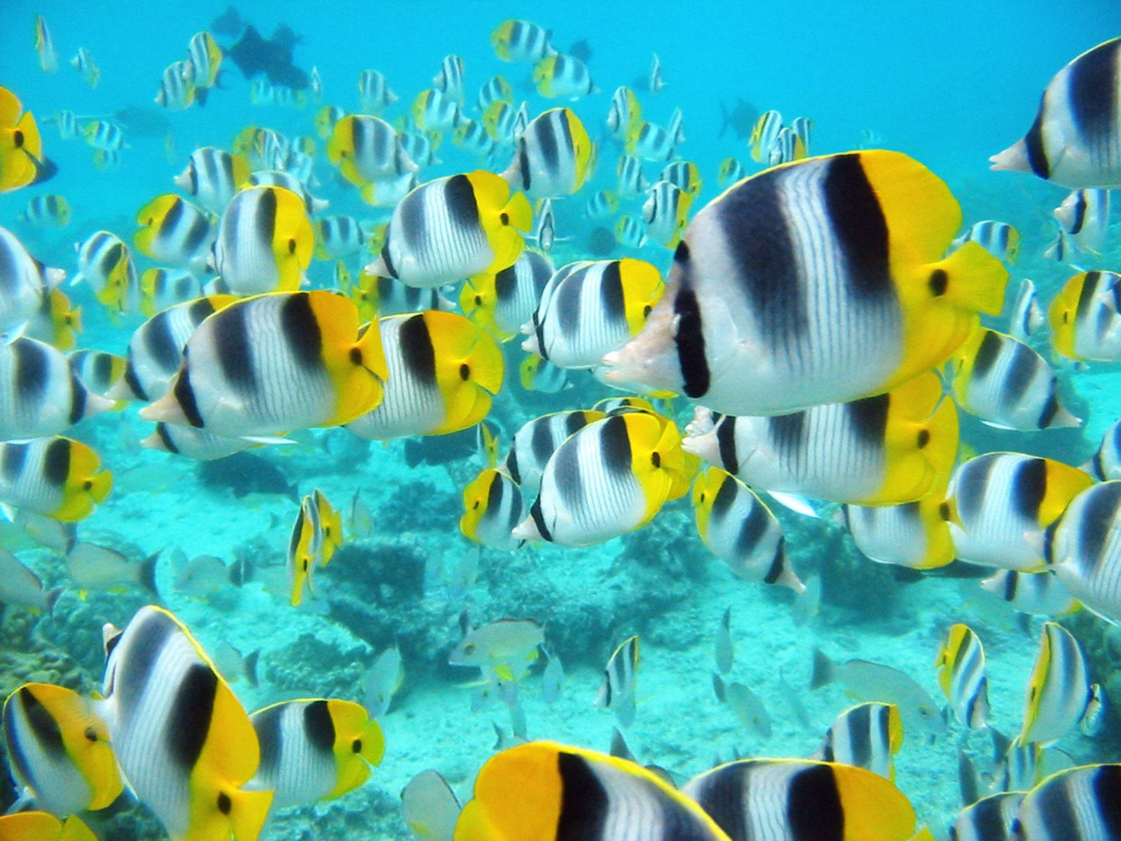 World visits tropical fish wonderful natural color design for Yellow tropical fish