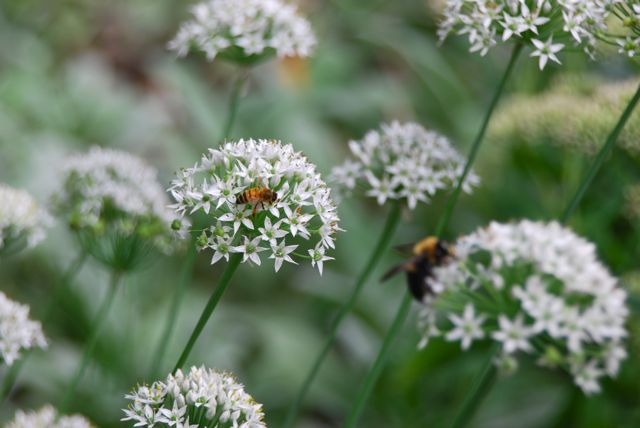 White Allium tuberosum is another one of my fall favorites. I have seeded it throughout the Hill Garden to give it a lift in color at this time.... and the pollinators love it!