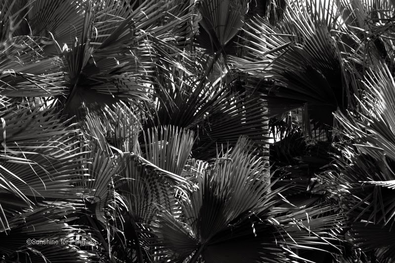 palm forest in Gambia, black and white photography